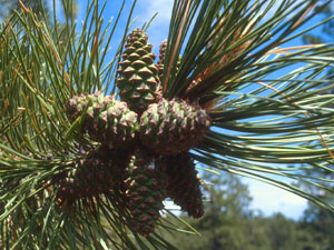PPIne cones and foliage med.jpg